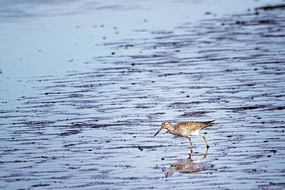 Sean - Willet Hunting on a Mudflat - Coastal North Carolina by Bob Decker