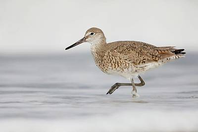 Lori A Cash Royalty-Free and Rights-Managed Images - Willet in Surf by Lori A Cash