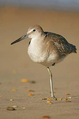 Lori A Cash Royalty-Free and Rights-Managed Images - Willet Resting on Beach by Lori A Cash