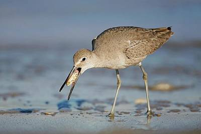 Lori A Cash Royalty-Free and Rights-Managed Images - Willet with Mole Crab by Lori A Cash