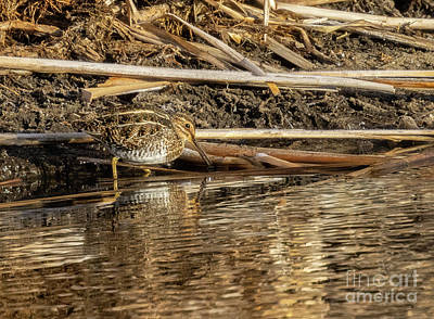 Steven Krull Royalty-Free and Rights-Managed Images - Wilsons Snipe by Steven Krull