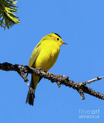 Steven Krull Royalty-Free and Rights-Managed Images - Wilsons Warbler by a Colorado Beaver Pond by Steven Krull