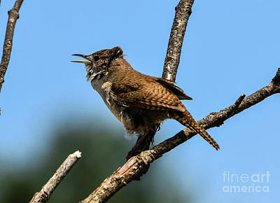 Little Mosters - Wind Blown House Wren by Cindy Treger