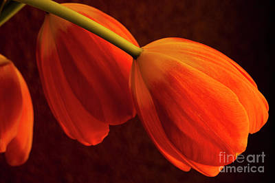 Still Life Royalty-Free and Rights-Managed Images - Window Light with Oragne Reddish Tulips by Jim Corwin