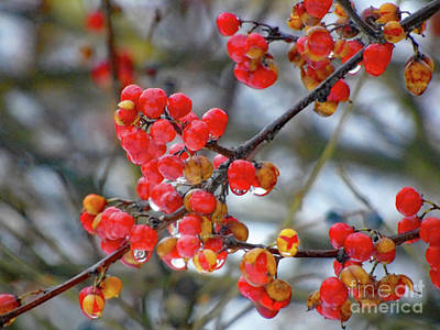 David Bowie Royalty Free Images - Winter Berries in the Rain Royalty-Free Image by Susan Lafleur