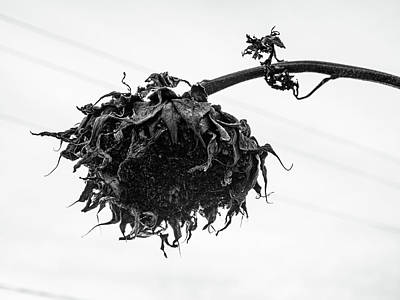 Photograph - Winter photo black Dandelion by Louis Dallara