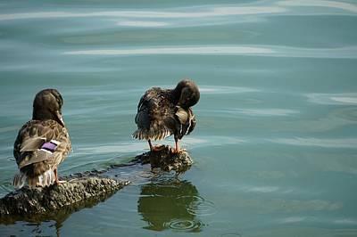 Animals Photos - Wood Ducks by Maria Faria Rodrigues
