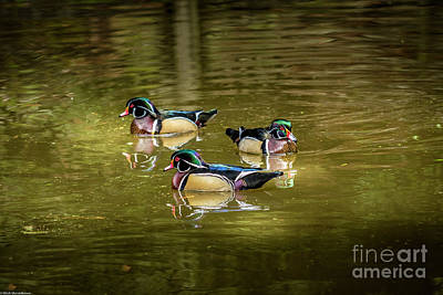 Clouds Rights Managed Images - Wood Ducks Royalty-Free Image by Mitch Shindelbower