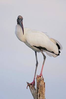 Lori A Cash Royalty-Free and Rights-Managed Images - Wood Stork Photo by Lori A Cash