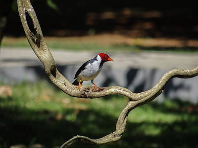 Animal Portraits - Yellow-billed Cardinal on Branch by Julie A Murray