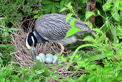 David Bowie Royalty Free Images - Yellow-crowned Night Heron Turning Eggs Royalty-Free Image by Regina Geoghan