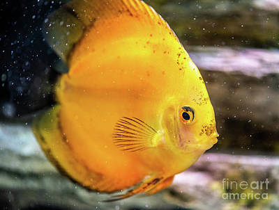 Royalty-Free and Rights-Managed Images - Yellow Discus by Ian McGregor