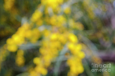 Drawings Royalty Free Images - Yellow flowers of an Acacia saligna i1 Royalty-Free Image by Humorous Quotes
