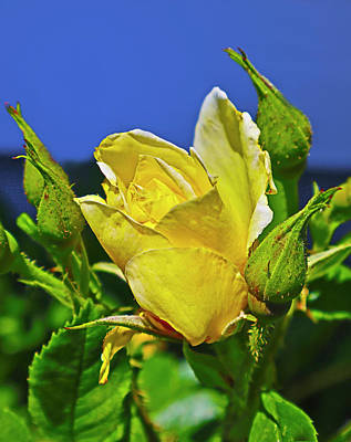 Target Threshold Nature - Yellow Friendship Rose by Joyce Dickens