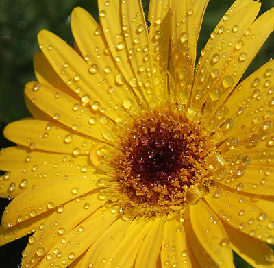 Water Droplets Sharon Johnstone - Yellow Gerbera by Suzanne Gaff