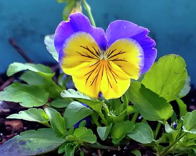 Jerry Sodorff Royalty-Free and Rights-Managed Images - Yellow Pansy by Jerry Sodorff