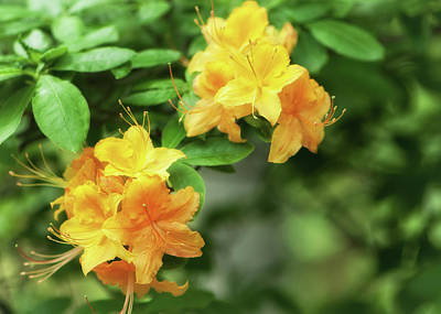 Yellow Rhododendron Flowers Photograph By Joanne Mason