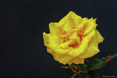 Abstract Shapes Janice Austin Royalty Free Images - Yellow Rose 85 Royalty-Free Image by Mike Penney