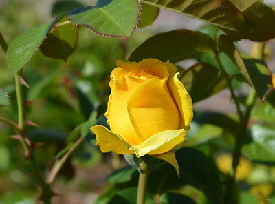 Game Of Chess - Yellow Rose Bud by Glenn McCarthy