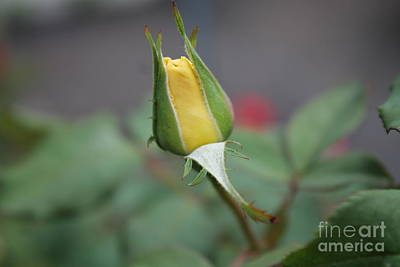 Photograph - Yellow Rose Bud by Julie Kindt