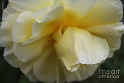 Photograph - Yellow Rose Close Up by Julie Kindt