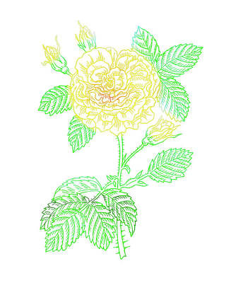 Popstar And Musician Paintings Royalty Free Images - Yellow Rose Colorful Botanical Flower On White  Royalty-Free Image by Irina Sztukowski