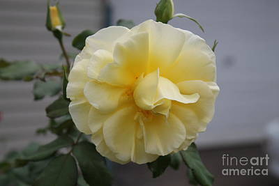 Photograph - Yellow Rose Flower by Julie Kindt