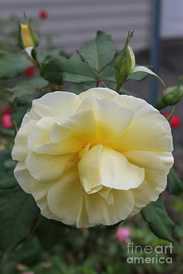 Photograph - Yellow Rose in Garden by Julie Kindt