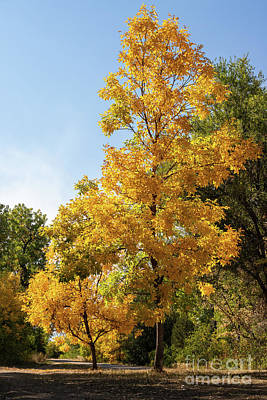 Photograph - Yellow Trees by Nicki Hoffman