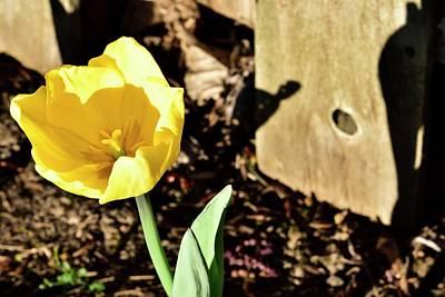 Jerry Sodorff Royalty-Free and Rights-Managed Images - Yellow Tulip by Jerry Sodorff