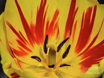 Outerspace Patenets - Yellow Tulips Amazing Center by Cindy Treger