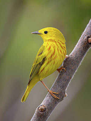 Have A Cupcake - Yellow Warbler by Dale Kincaid