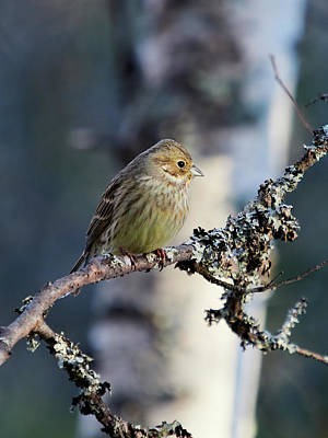 Animals Royalty-Free and Rights-Managed Images - Yellowhammer blues 1 color by Jouko Lehto
