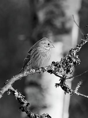 Animals Royalty-Free and Rights-Managed Images - Yellowhammer blues 1 bw by Jouko Lehto