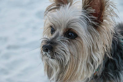 Open Impressionism California Desert Royalty Free Images - Yorkie with Sand on Nose 2 Royalty-Free Image by Dawn Richards
