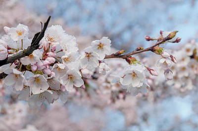 The Who - Yoshino Cherry Flowers under Snow 1 by Jenny Rainbow