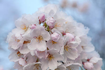 The Who - Yoshino Cherry Flowers under Snow 2 by Jenny Rainbow