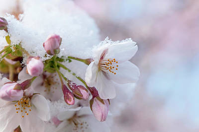 The Who - Yoshino Cherry Flowers under Snow 3 by Jenny Rainbow