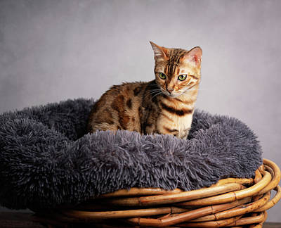 Royalty-Free and Rights-Managed Images - Young Bengal Cat in her Cat Bed by Nailia Schwarz