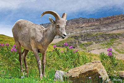 Photograph - Young Bighorn Ram in a Meadow by Jeff Goulden
