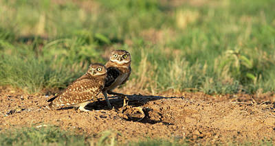 Olympic Sports - Young Burrowing Owls  by Gary Langley