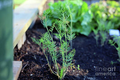 Katharine Hepburn - Young Dill Plant 1588 by Jack Schultz