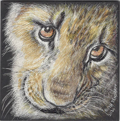 Drawing - Young Lion  by Ruth Renshaw