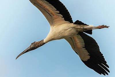 Photograph - Young White Ibis by Adrian O Brien
