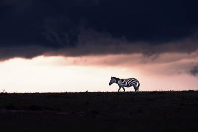 Abstract Animalia Royalty Free Images - Zebra silhouette Royalty-Free Image by Murray Rudd