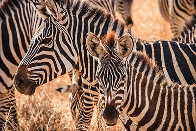Animals Royalty-Free and Rights-Managed Images - Zebras by Adam Romanowicz