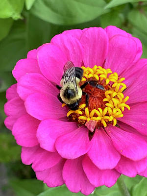 Royalty-Free and Rights-Managed Images - Zinnia and the bee by Greg Joens
