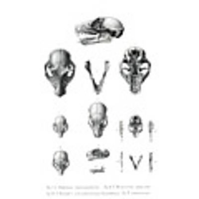 African Mammal Skulls Art Print by Hugo Troschel