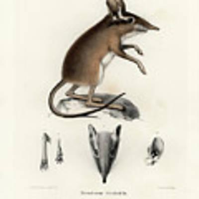 Four-toed Elephant Shrew Art Print by J D L Franz Wagner