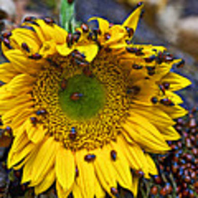 Sunflower Covered In Ladybugs Art Print